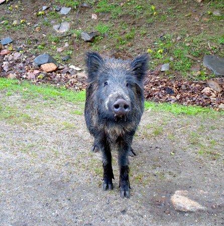 Omega Park: Cutest boar