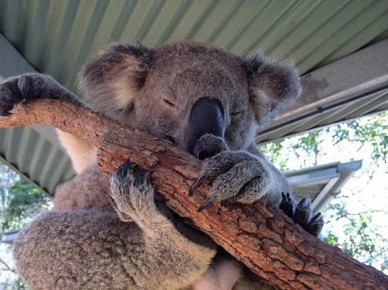 Taronga Zoo: koala encounter
