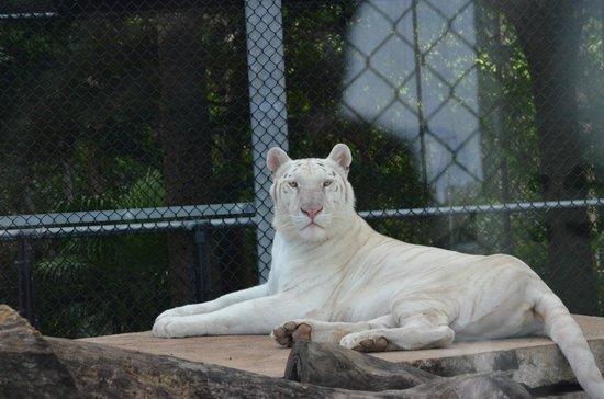 Jungle Island: snow tiger