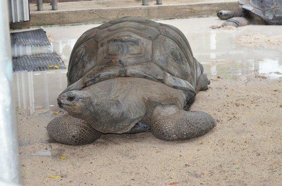 Jungle Island: Giant tortoise