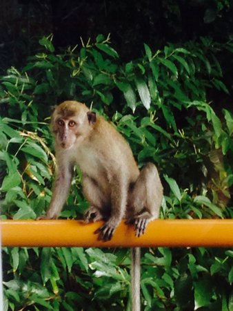 Ambong Ambong: Cheeky monkeys swing by the trees. Jungle living at it's best!