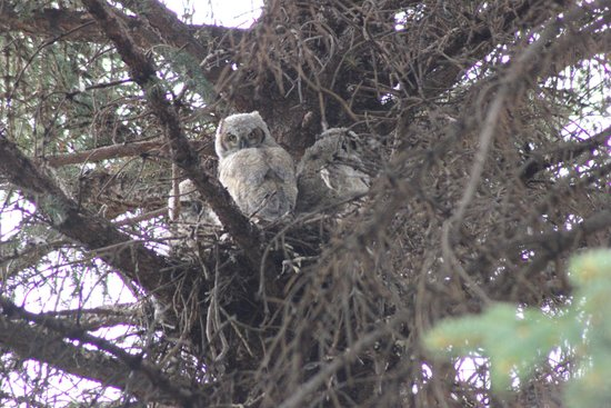 Yellowstone Valley Lodge : Great Horned Owlets in their nest on the grounds
