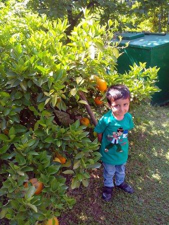 Upadhyay Cottages: Orange tree