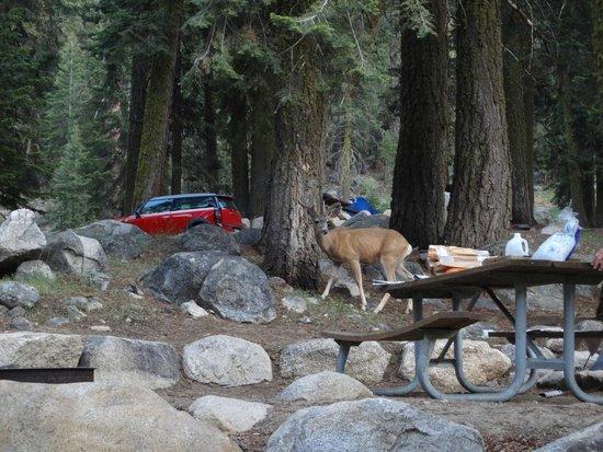 Lodgepole Campground: Wildlife in campground