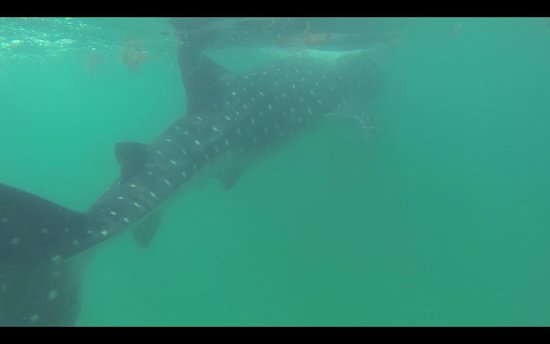 Holbox Whale Shark Tours with Willy's Tours: Whale sharks