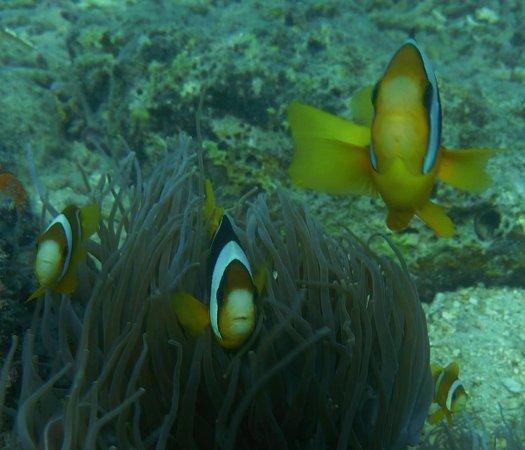 Nautilus Scuba: Clown Fish