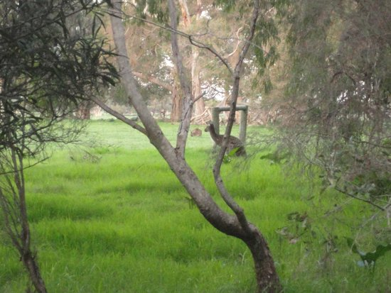 Dunsborough Rail Carriages & Farm Cottages: Kangaroos in back paddock