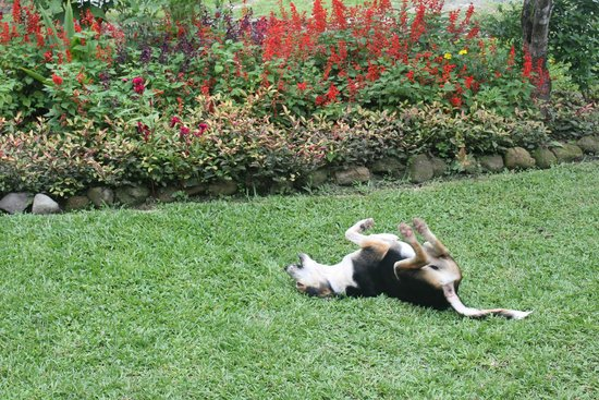 "Butterfly Cafe : ""Fred"" the neighborhood dog rolling in the grass in front of cafe"