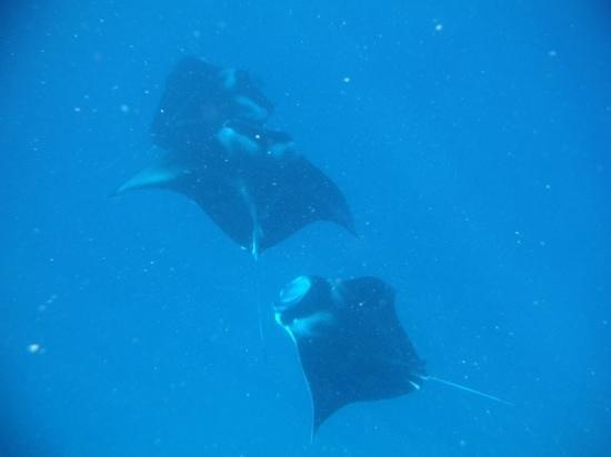 Arrecife del descubrimiento: Manta Rays