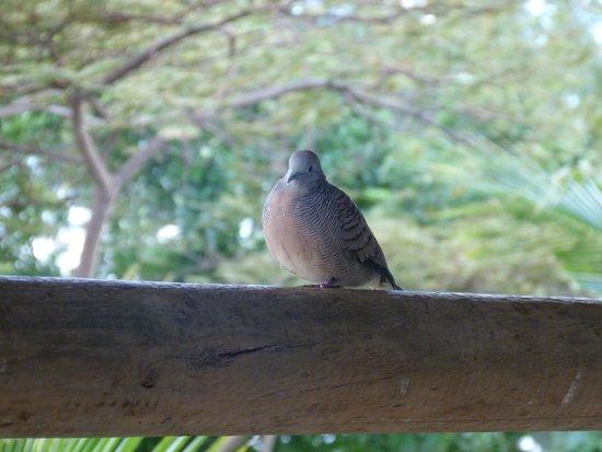 Coin de Mire Attitude: a friendly little dove on our balcony