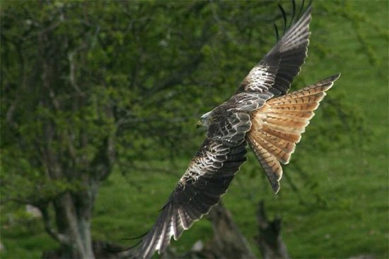 Graham Uney Mountaineering - Day Courses: Look for red kites on our wildlife walks