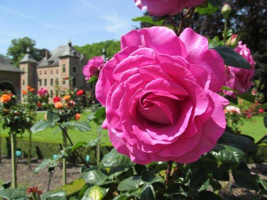 Rozentuin Coloma : Roos met kasteel op de achtergrond