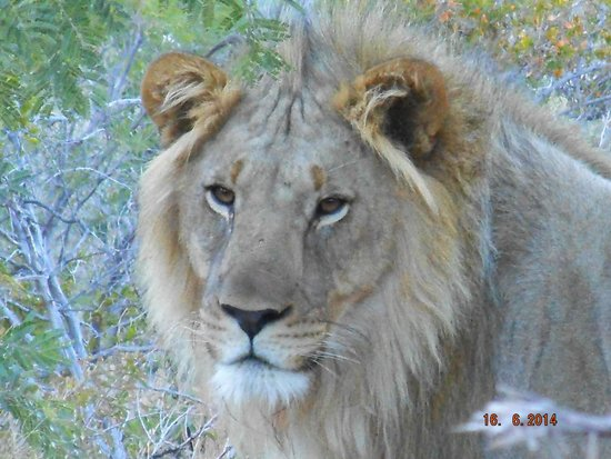Marakele National Park: lion sighting very early morning  - close to camp