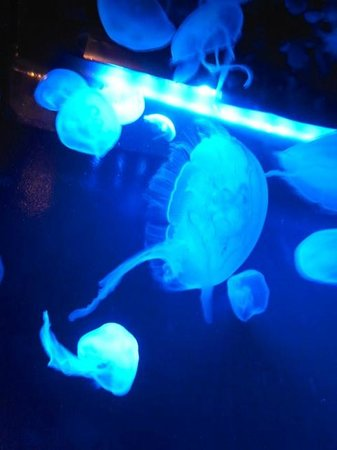 Sunshine Aquarium: クラゲ