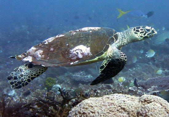 Wicked Diving, Komodo: Turtle