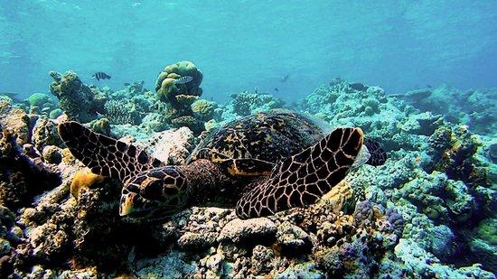 Vilamendhoo Island Resort & Spa: Черепашка - самое миролюбивое и спокойное создание