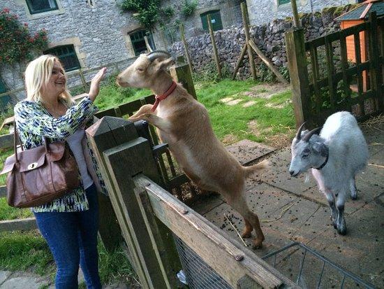 YHA Hartington Hall : The goats!!