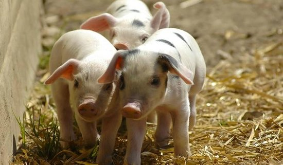 High Wycombe, UK: Piglets