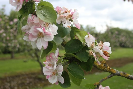 The Bleu Apple B&B: The orchard in Blossom in May