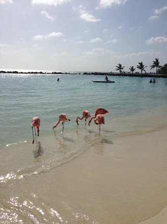 Renaissance Aruba Resort & Casino: Paradise Island with pink flamingos :)