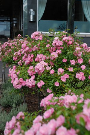 The Savoy Jersey : Roses in the front garden