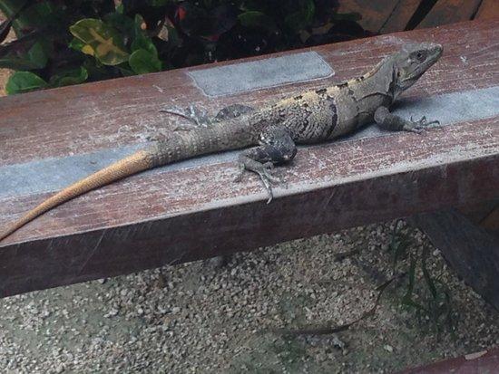Maya Tulum Resort: Local Iguana