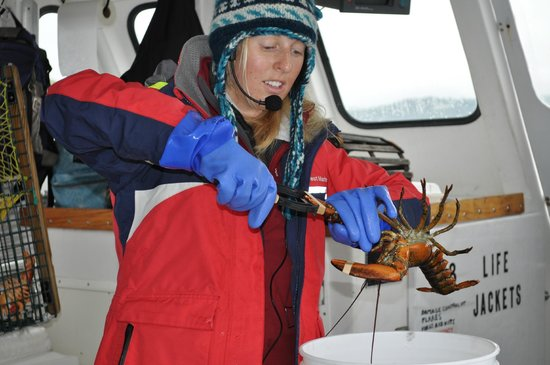 Bar Harbor Whale Watch Company: Lobster - demonstrating the process of banding the claws