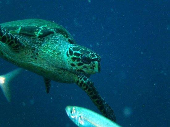 Blue Island DIvers : Turtle at CIT Concrete