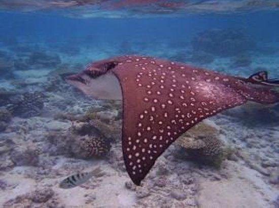 Filitheyo Island Resort : eagle ray
