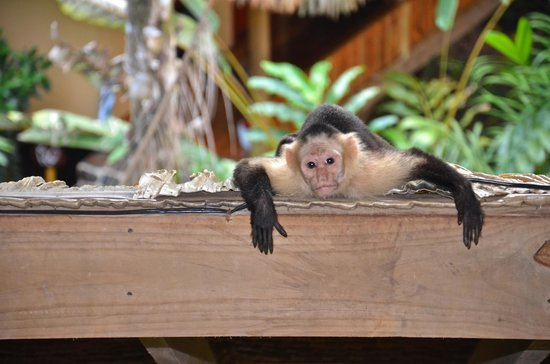 Copa de Arbol Beach and Rainforest Resort : Monkey invasion