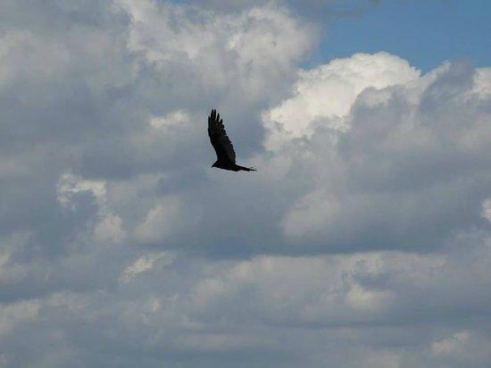 Fort Wadsworth: Hawk flying nearby
