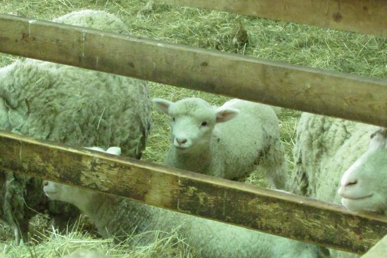 Lismore Sheep Farm Wool Shop : in the stall