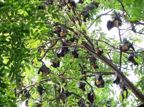 Bat colony, Colonial Govenor Mansion, Kampong Thom