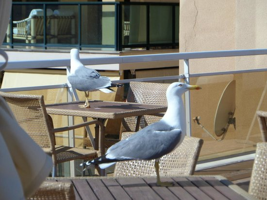 Catalonia Majorica Hotel: Seagulls visiting the pool area