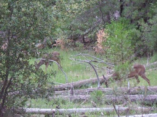 Evergreen Lodge at Yosemite : Deer