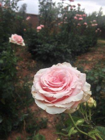 Ecolodge Quaryati : Rose garden