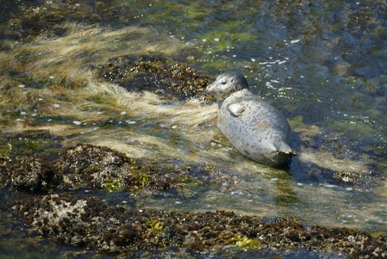 Yaquina Head Outstanding Natural Area: Seal at play, in rocks and seaweed below Yaquina Head Lighthouse