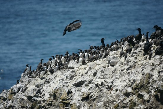 Common Murre and other nesters, Yaquina Head Outstanding Natural Area