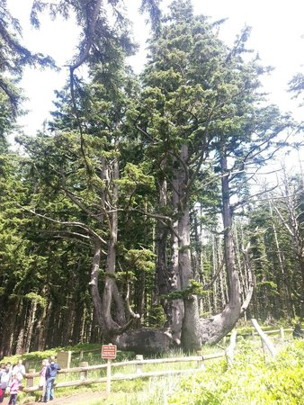 Cape Meares Lighthouse and Wildlife Refuge: The Octopus tree just a short stroll up from the parking area.