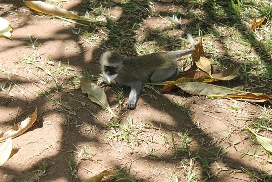 Victoria Falls Rest Camp & Lodges : A few cute monkeys around the grounds