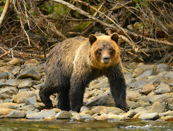 Grizzly Bear Viewing from Tweedsmuir Park Lodge. Photo: Richard Roth