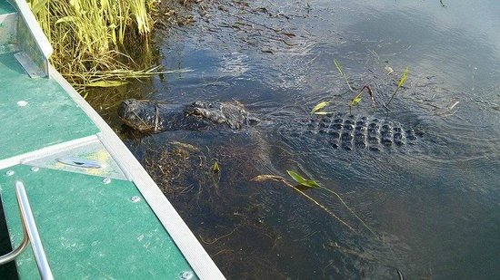 Airboat Express - Tours: 13 foot gator named Popeye 50 to 55 years old