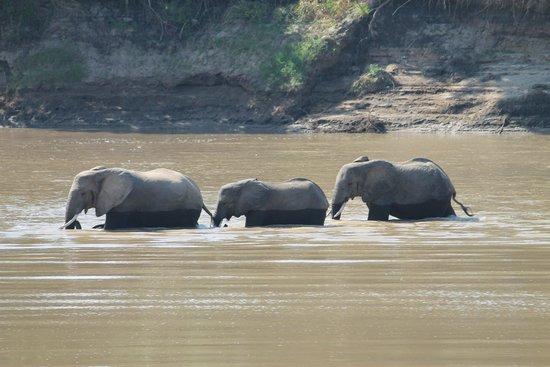 Marula Lodge: Elephants crossing the river near camp