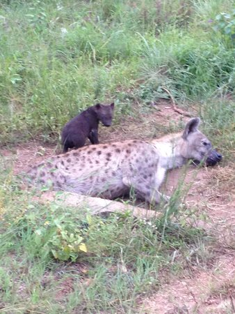 Wild Wings Safaris: Hyaenas with pups - we saw this family quite a bit