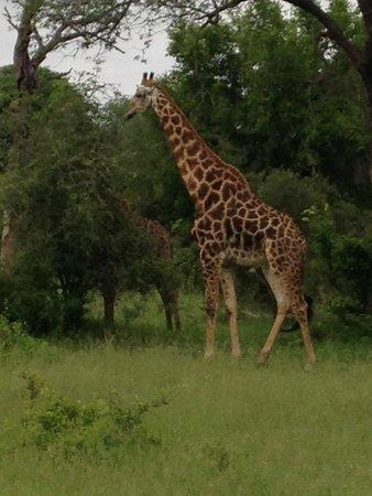 Wild Wings Safaris: Our giraffe friends