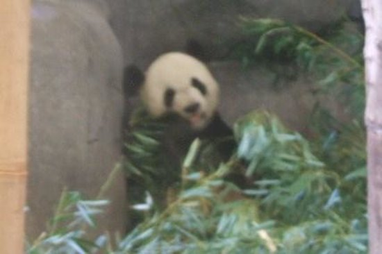 Memphis Zoo: One of our 2 Pandas in China Exhibit