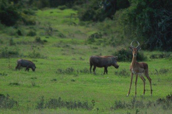Addo Afrique Estate: Buck & Warthog