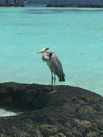 Kurumba Maldives: птица)