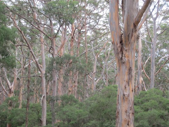 Boranup Karri Forest: Karri Forest 1