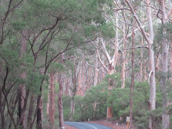 Boranup Karri Forest: Karri Forest 2